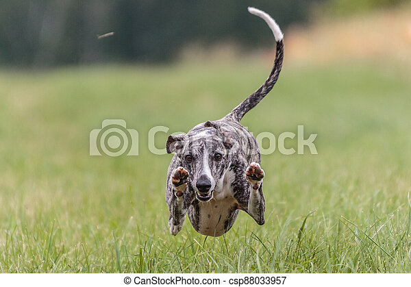 Flying whippet in the field on lure coursing competition - csp88033957
