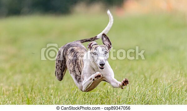 Flying whippet in the field on lure coursing competition - csp89347056