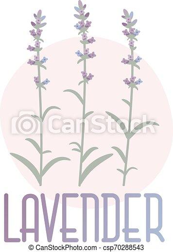 fogalom, lavender., kép, vektor, provence, style. - csp70288543