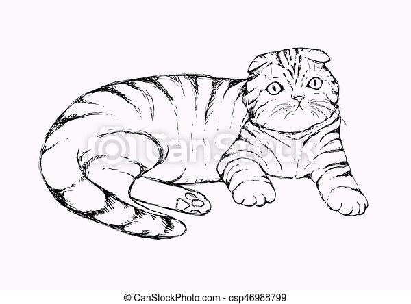 Fold cat - hand drawn vector illustration. Flap-eared tabby kitten is lying. Realistic portrait housecat. - csp46988799