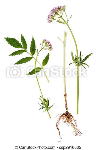 folha, flor, valerian, raiz - csp2918585