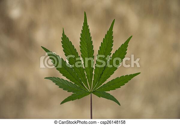 folha, marijuana - csp26148158