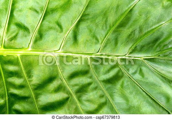 folha, natureza, primavera, folhas, tropicais, experiência., verde, selva - csp67379813