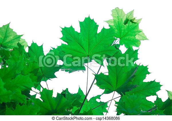 folhas, branca, maple - csp14368086