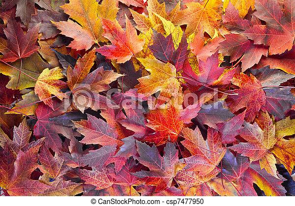 folhas, maple, fundo, outono - csp7477950