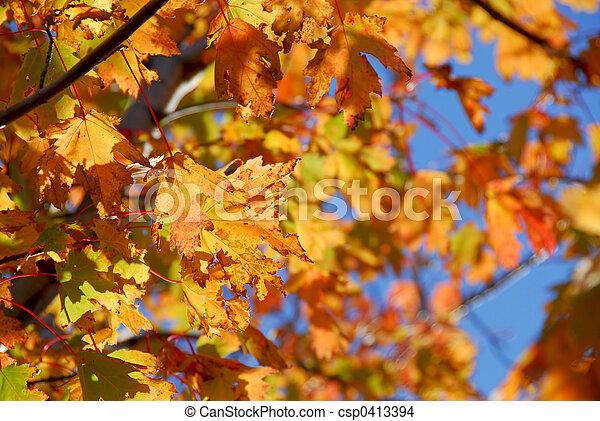 folhas, maple, outono - csp0413394