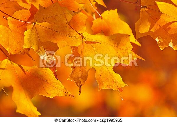 folhas, maple, outono - csp1995965