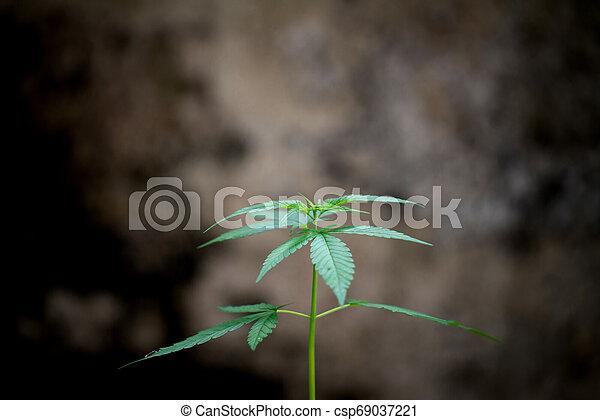 folhas, marijuana - csp69037221