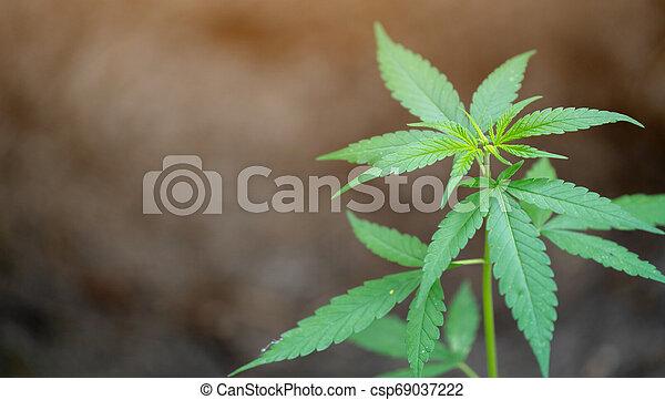 folhas, marijuana - csp69037222