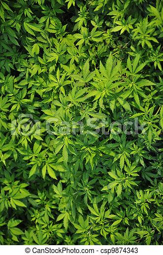 folhas, marijuana - csp9874343
