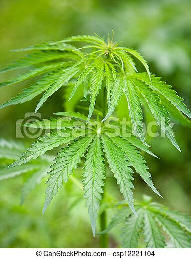 folhas, marijuana - csp12221104