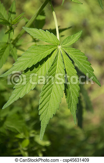 folhas, marijuana - csp45631409