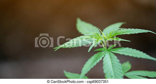 folhas, marijuana - csp69037351