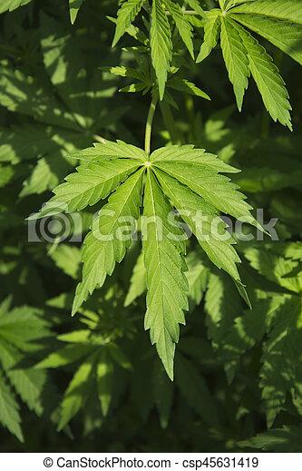 folhas, marijuana - csp45631419