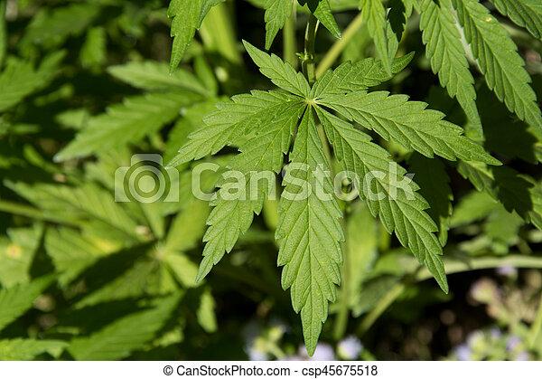 folhas, marijuana - csp45675518