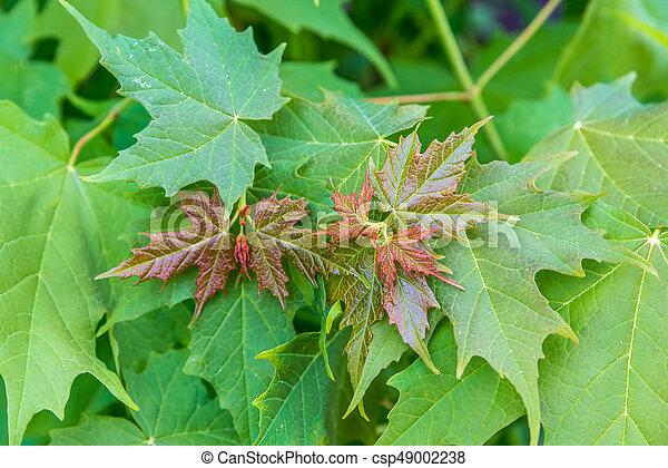 folhas, verde, maple - csp49002238
