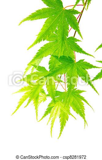 folhas, verde, maple - csp8281972