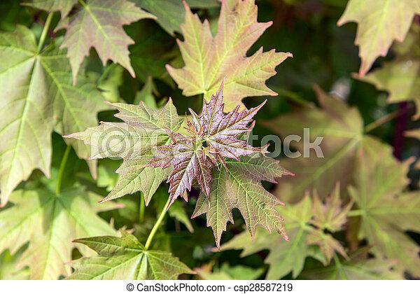 folhas, verde, maple - csp28587219
