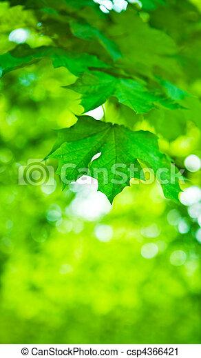 folhas, verde, maple - csp4366421