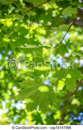 folhas, verde, maple - csp16141998