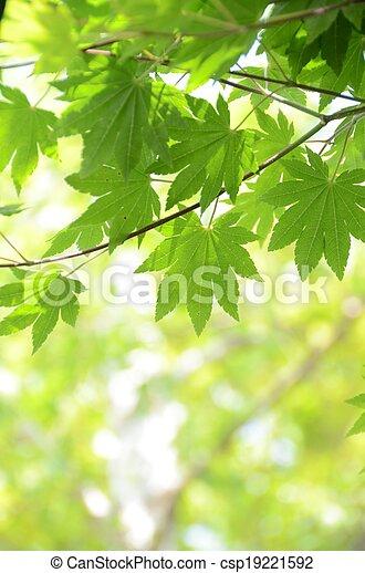 folhas, verde, maple - csp19221592