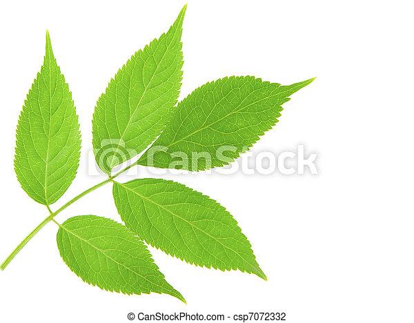 folhas, verde, ramo - csp7072332