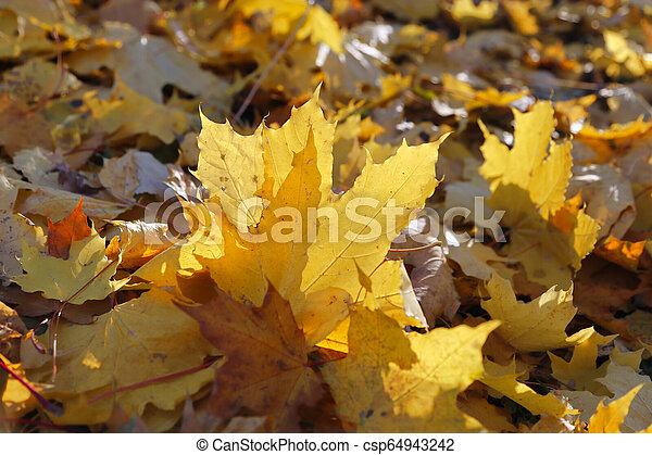 Foliage of fall maple burning in the rays of the evening sun - csp64943242