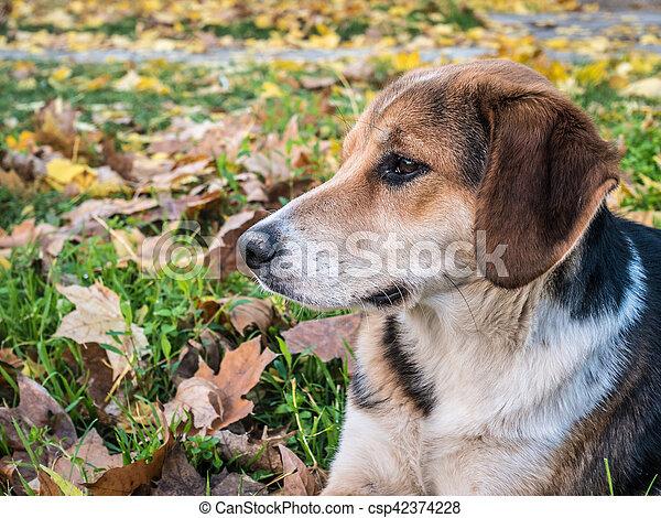 foltos, kutya, az, ?szi, avaron - csp42374228