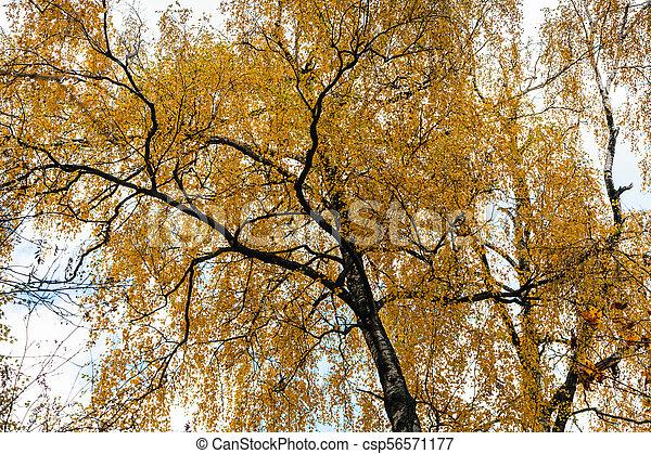 foto de Fond, feuilles, jaune, automne, bouleau, vue. Urbain, fond, arbre ...