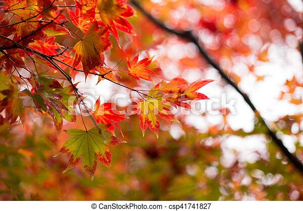 Maple japonés para el fondo. - csp41741827