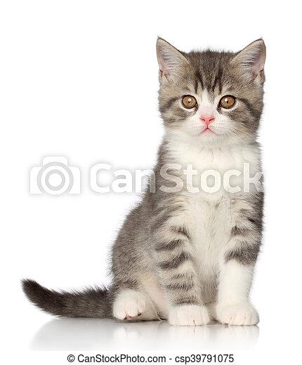 Un gatito británico en un fondo blanco - csp39791075
