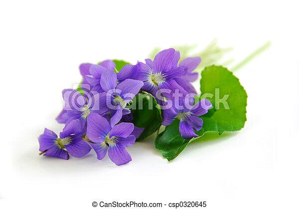 Violetas de fondo blanco - csp0320645