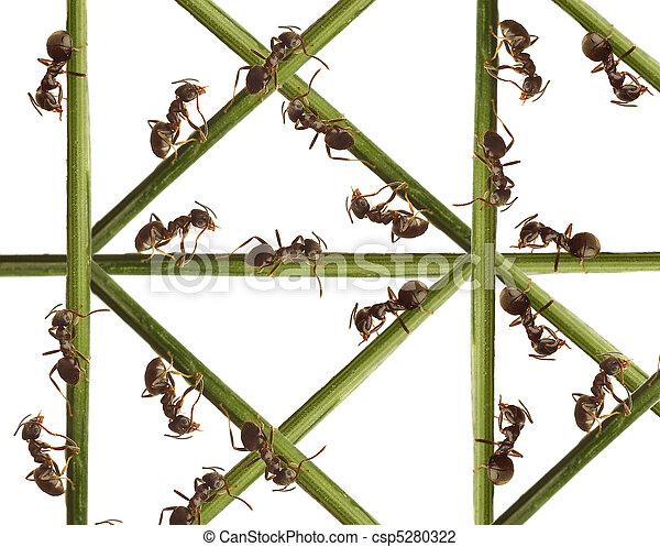 Hormigas en una hierba verde. En un fondo blanco. - csp5280322