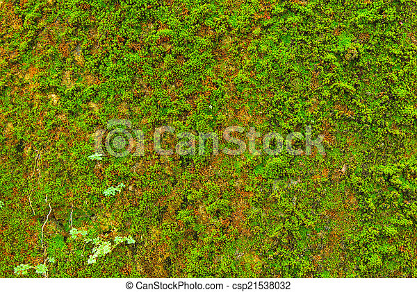 Moss en el fondo de textura de la pared. - csp21538032