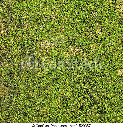 Moss en el fondo de textura de la pared. - csp21529357