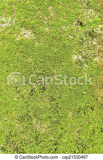 Moss en el fondo de textura de la pared. - csp21530497