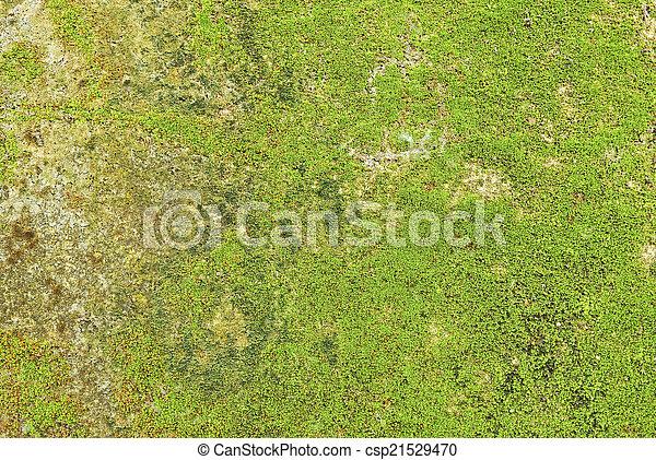 Moss en el fondo de textura de la pared. - csp21529470