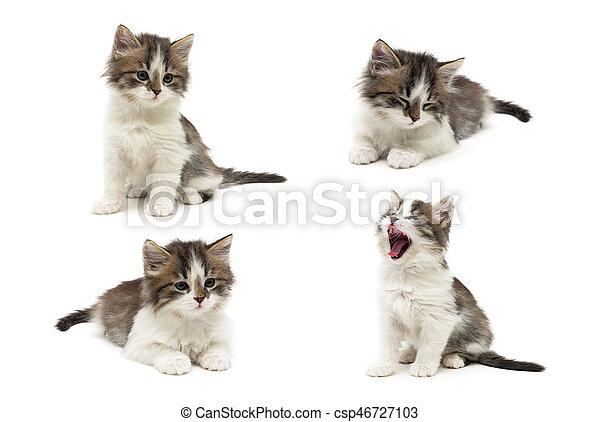 Un gatito esponjoso en un fondo blanco. - csp46727103
