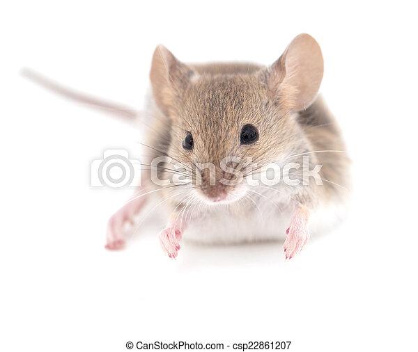 Ratón en un fondo blanco. Primer plano - csp22861207