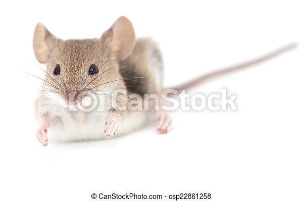 Ratón en un fondo blanco. Primer plano - csp22861258