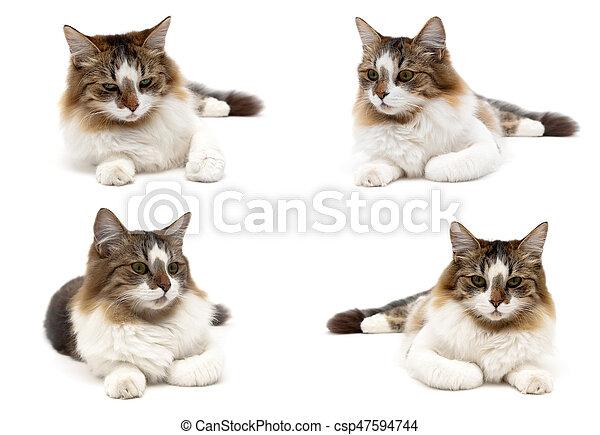 Gato esponjoso aislado en fondo blanco. - csp47594744