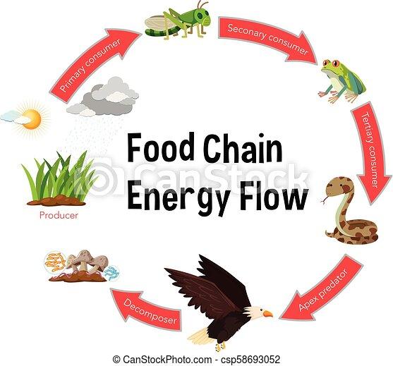 food chain energy flow diagram - csp58693052