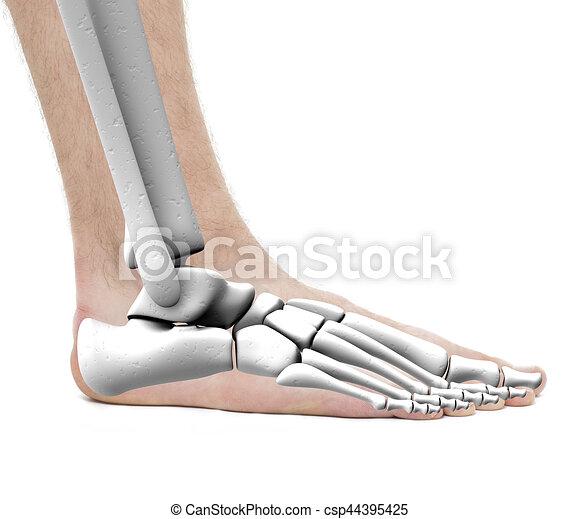 Foot Ankle Bones Anatomy Male Studio Photo Isolated On Clip
