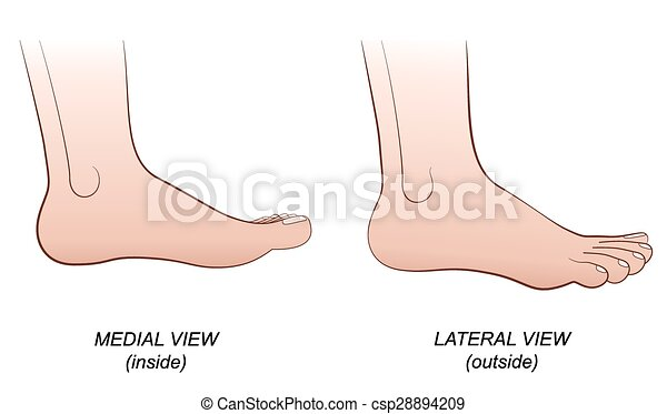Foot lateral medial view inside out. Feet - medial view (inside) and ...