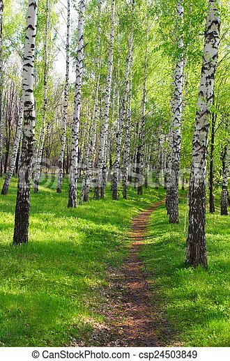Footpath in birch grove - csp24503849