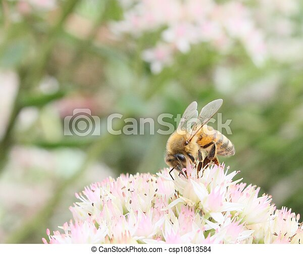 foraging honeybee - csp10813584