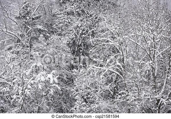 forest., カバーされた, 雪, 光景 - csp21581594