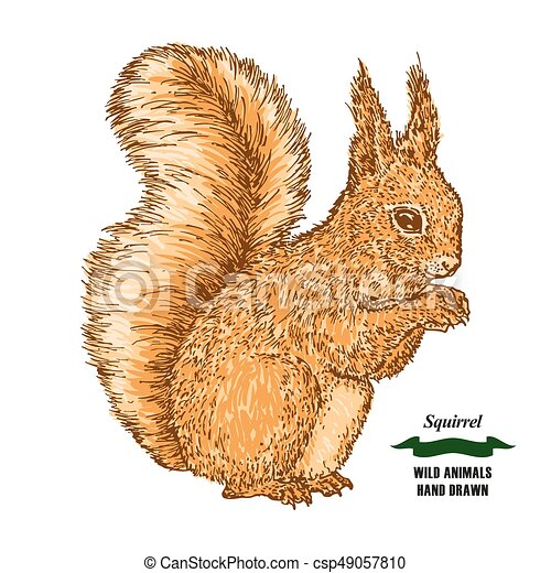 Forest animal squirrel. Hand drawn colored sketch on white background.  Vector illustration vintage.
