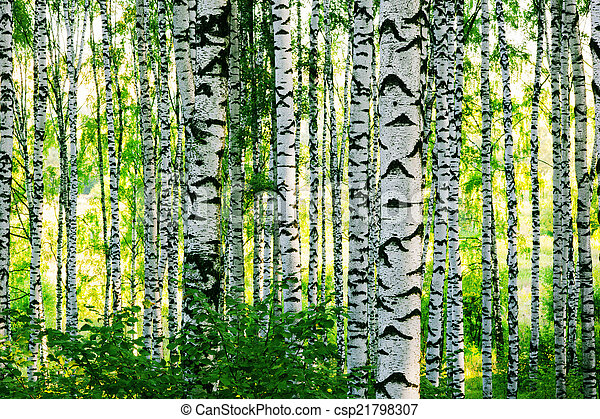 forest birch - csp21798307