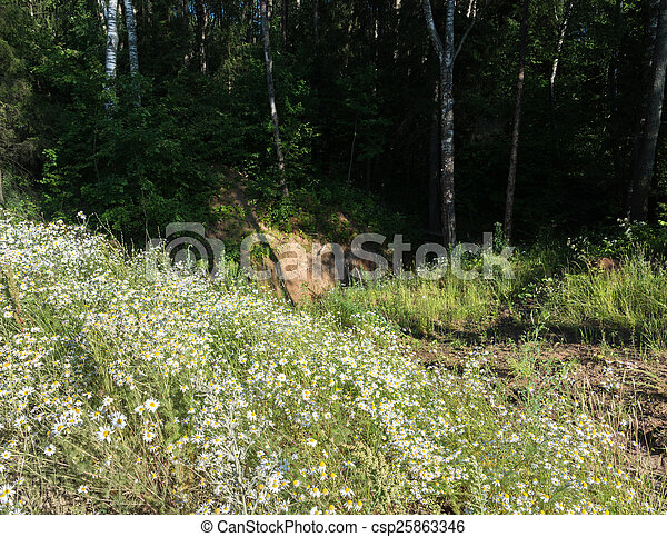 Forest chamomile. - csp25863346